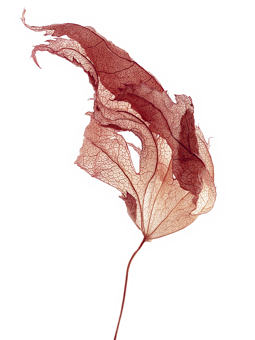 Dried leaf 3.jpg